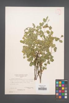 Colutea arborescens [KOR 21469]