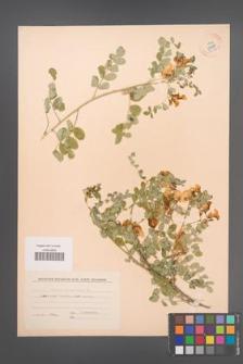 Colutea arborescens [KOR 54769]