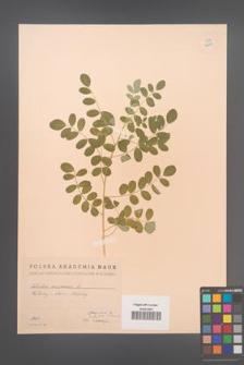 Colutea arborescens [KOR 12879]