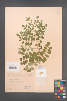 Colutea arborescens [KOR 12892]