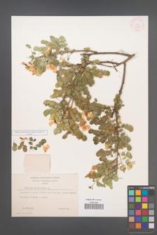 Colutea arborescens [KOR 12832]