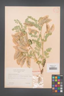Colutea arborescens [KOR 12835]