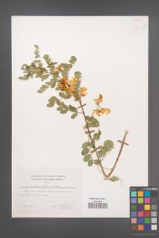 Colutea cilicica [KOR 24993]