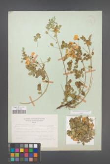 Colutea insularis [KOR 21463]