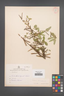 Corchorus triocularis [KOR 12920]