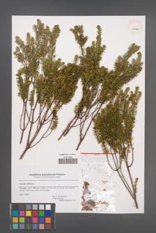 Corema album [KOR 43756]