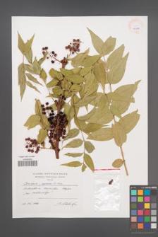 Coriaria japonica [KOR 40478]