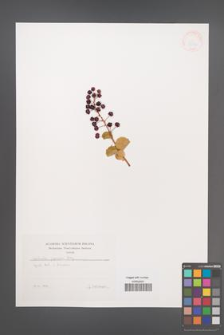 Coriaria japonica [KOR 38353]