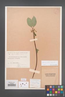 Cornus alba [KOR 13033]