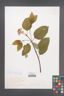 Cornus alba [KOR 42954]