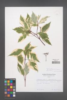Cornus alba [KOR 51147]