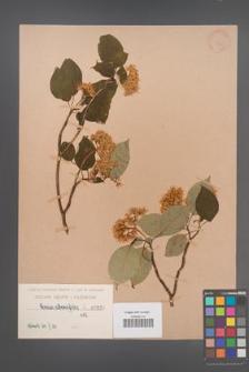 Cornus alternifolia [KOR 935]