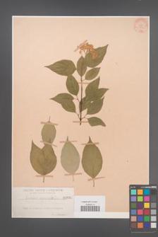 Cornus asperifolia [KOR 934]