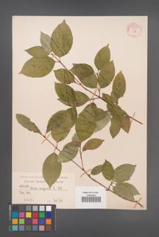 Cornus sanguinea [KOR 54898]