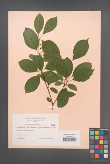 Cornus sanguinea [KOR 6162]