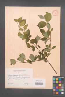 Cornus sanguinea [KOR 3205]