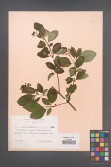 Cornus sanguinea [KOR 6260]