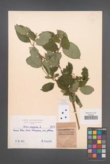 Cornus sanguinea [KOR 1513]