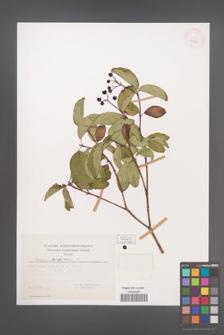 Cornus sanguinea [KOR 32707]