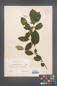 Cornus sanguinea [KOR 8014]