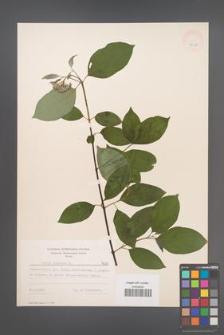 Cornus sanguinea [KOR 7635]