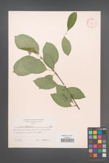 Cornus sanguinea [KOR 7354]