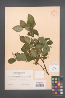 Cornus sanguinea [KOR 8211]