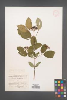 Cornus sanguinea [KOR 13020]