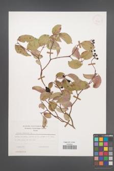 Cornus sanguinea [KOR 25359]