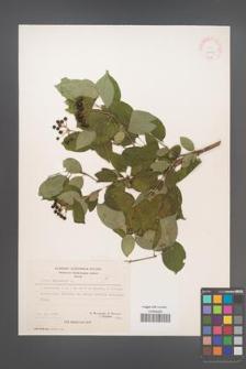 Cornus sanguinea [KOR 21518]