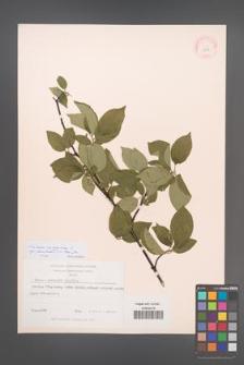 Cornus sanguinea [KOR 12936]