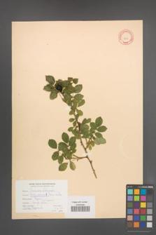 Rosa canina [KOR 9307]