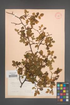 Rosa canina [KOR 6848]