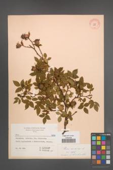 Rosa canina [KOR 6916]