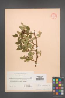Rosa canina [KOR 6791]