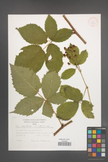 Rubus constrictus [KOR 37975]