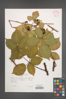 Rubus constrictus [KOR 29253]