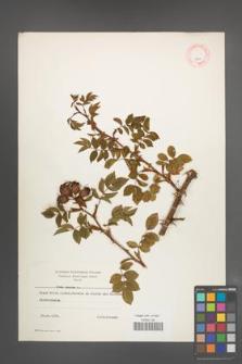 Rosa canina [KOR 8941]