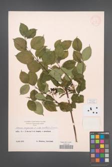 Cornus sanguinea [KOR 13017]