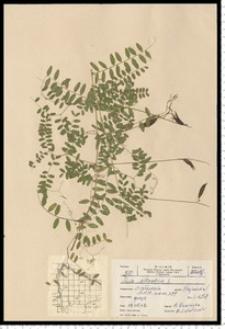 Vicia sylvatica L.
