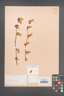 Corylopsis platypetala [KOR 34087]