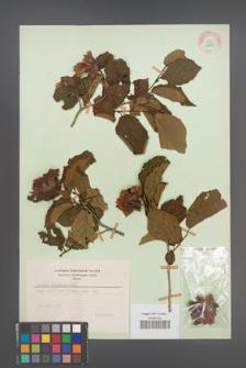 Corylus americana [KOR 12973]