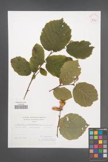 Corylus americana [KOR 42598]