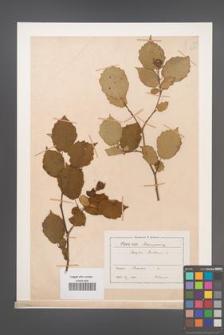 Corylus avellana [KOR 12989]