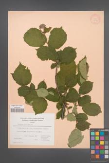 Corylus avellana [KOR 21567]