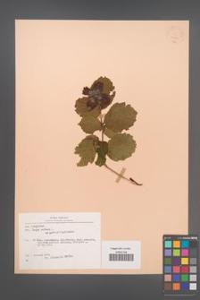 Corylus avellana [KOR 22746]