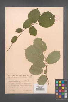 Corylus avellana [KOR 1964]