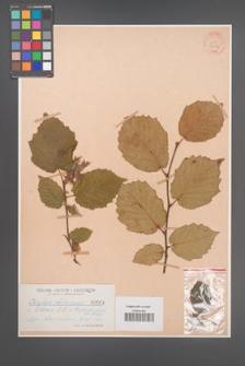 Corylus chinensis [KOR 34110]