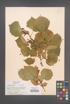 Corylus colurna [KOR 34114]