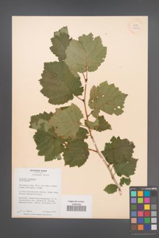 Corylus colurna [KOR 34116]